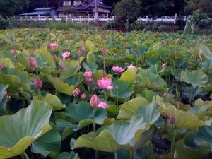 蓮の花ー2